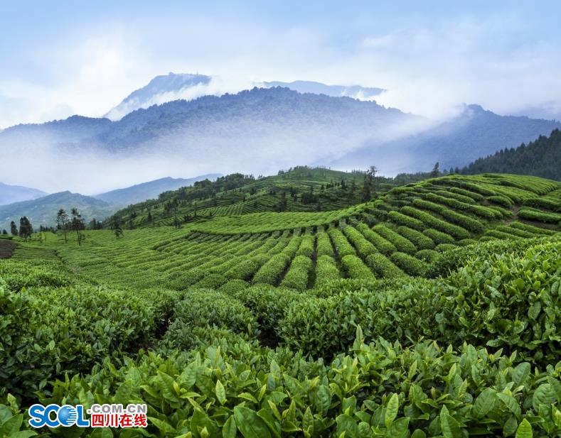 茶香缕缕 探寻峨眉山禅茶的不解奇缘