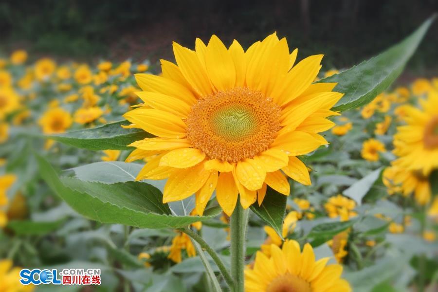 乐山绿心公园向日葵盛开 瑜伽爱好者徜徉花海